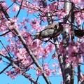 Photos: 2021.03.03 和泉川 おかめ桜にヒヨドリ