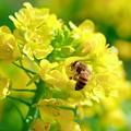 2021.03.04 追分市民の森 菜の花にミツバチ