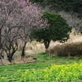 Photos: 2021.03.06 追分市民の森 菜の花と花桃
