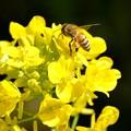 2021.03.15 追分市民の森 菜の花にミツバチ