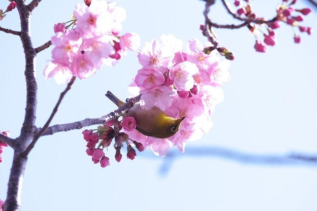 2021.03.18 和泉川 陽光桜へメジロ