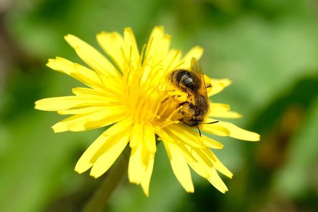 2021.04.04 追分市民の森 蒲公英でセイヨウミツバチ