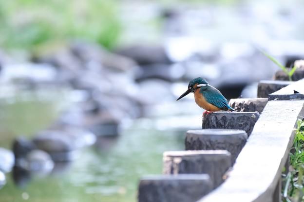 2021.04.27 和泉川 カワセミ 抱卵雌への食事採り