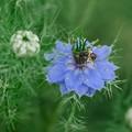2021.05.16 和泉川 ニゲラに小さなハチ
