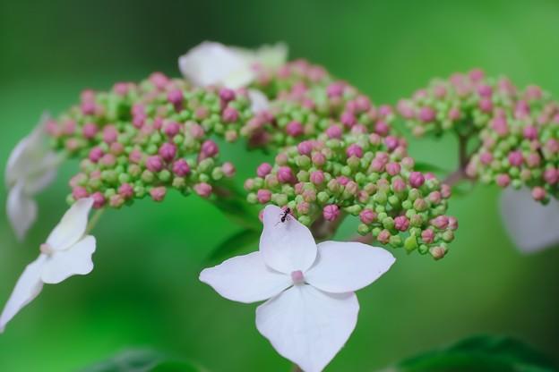 2021.05.31 和泉川 紫陽花にアリ