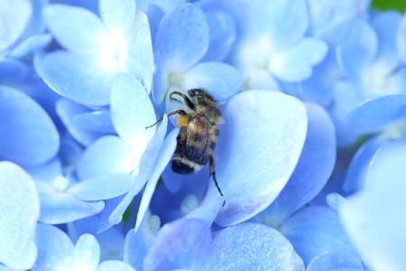 2021.06.08 追分市民の森 紫陽花にヒメトラハナムグリ