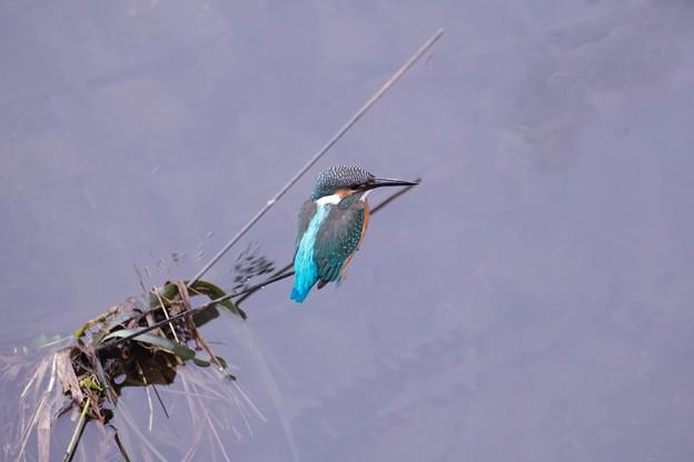 2021.07.05 和泉川 釣り竿でカワセミ