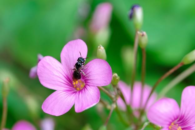 2021.07.28 和泉川 芋片喰に小さなハチ