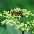 Photos: 2021.09.08 瀬谷市民の森 キンケハラナガツチバチ