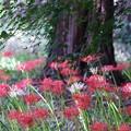 Photos: 2021.09.15 和泉川 ヒガンバナ 紅葉のしたに