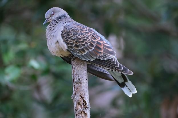 2021.09.27 和泉川 やさぐれ雉鳩
