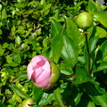 芍薬がもうじき開花
