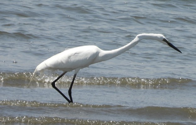 ダイサギ  Great Egret Ardea alba DSCN0510
