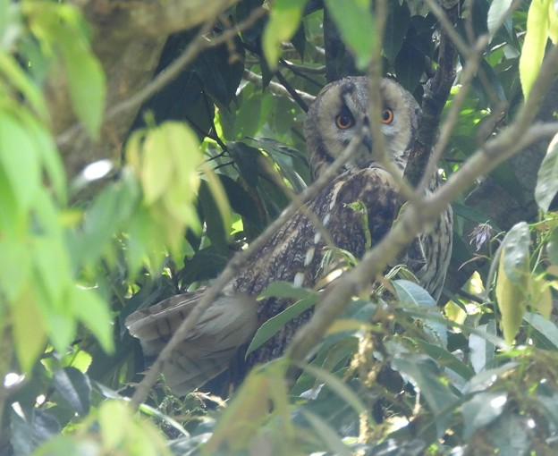 トラフズク Long-eared Owl  Asio otus DSCN0837