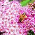 Photos: しもつけ&蜜蜂