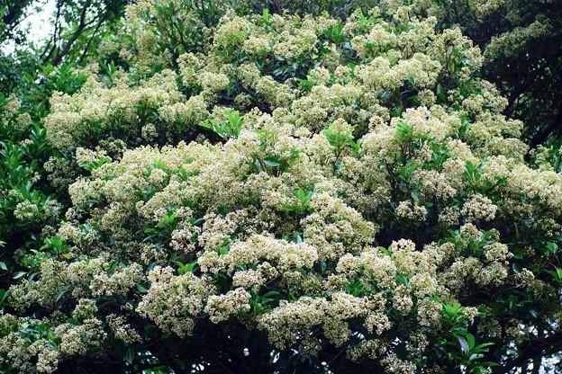 Photos: 珊瑚樹