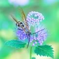 ダンギクを訪れたツチバチの仲間