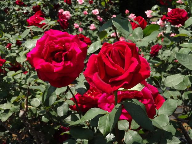 情熱の赤いバラ  ミスターリンカーン