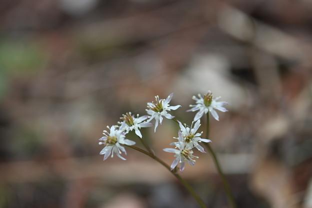 初春に咲く花(オウレン)