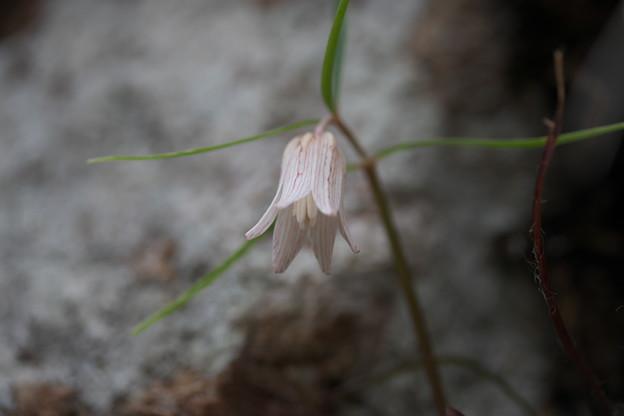 初春に咲く花(ホソバナコバイモ)
