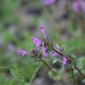 春の草(ホトケノザ)