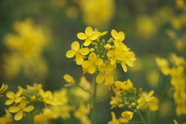 春の風景(菜の花)