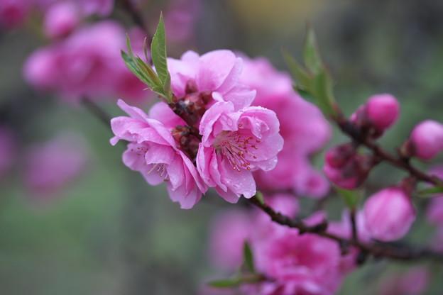 春の風景(花桃)