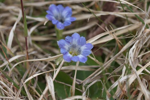 春の山野草(ハルリンドウ)