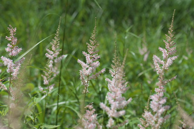 高原の花 チダケサシ