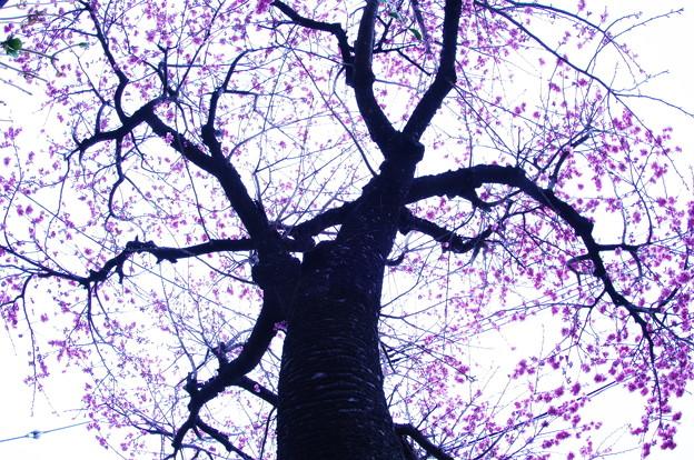 夕空に咲く河津桜