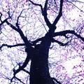 Photos: 夕空に咲く河津桜