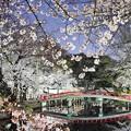 Photos: 夜桜2021