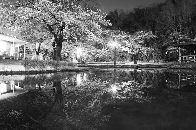 夜桜2021(2)