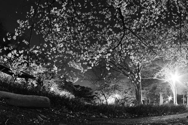 夜桜2021(3)