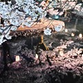 Photos: 水面の夜桜