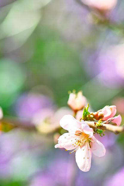 桃の花も咲きました!(^▽^)/