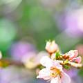 Photos: 桃の花も咲きました!(^▽^)/