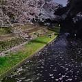 Photos: 流れる桜
