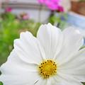 Photos: こぼれ種から咲きました!