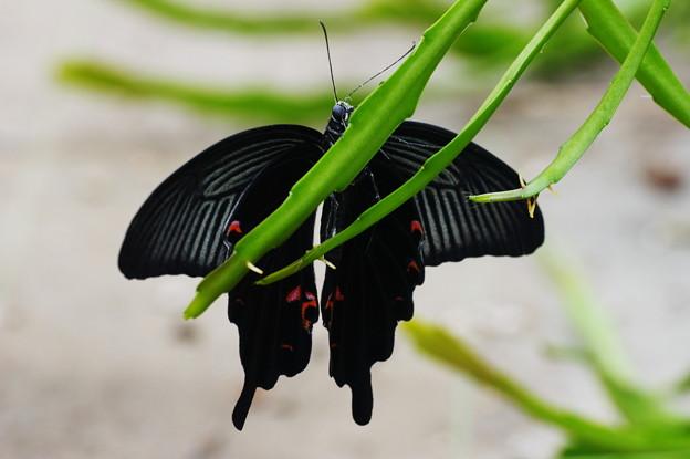 Photos: 黒い花が咲きました!\(^o^)/