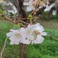 Photos: 桜とケムンパス(2)