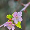 Photos: 桜2輪