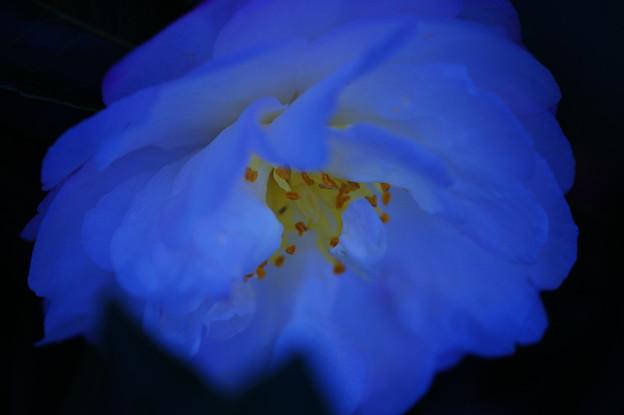青い山茶花