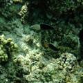 1010カンムリベラ幼魚