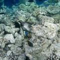 Photos: 130205ゴマモンガラ幼魚