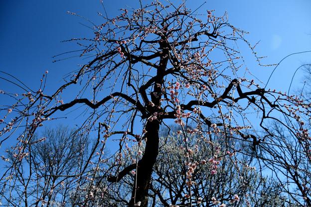 枝垂れ梅全体