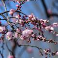 藤牡丹枝垂2