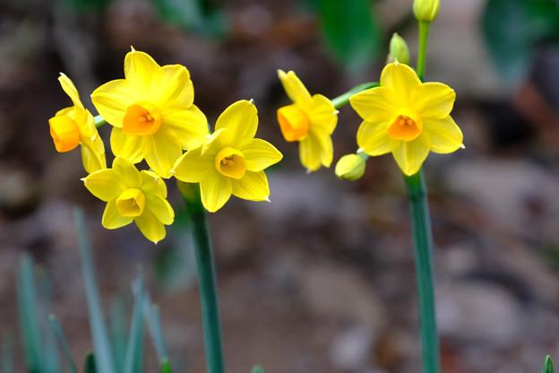 黄色い水仙3月5日