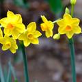 Photos: 黄色い水仙3月5日
