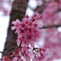 Photos: マメ桜1